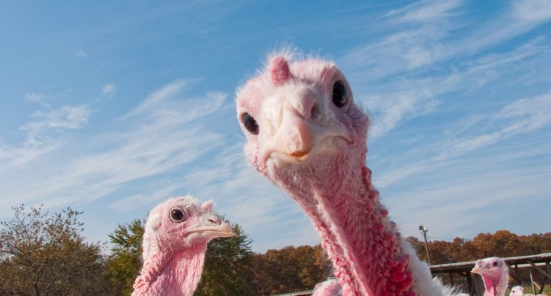 turkey-be-like-whaaaat-via-shutterstock-800x430.jpg.a4908bb95cde17e254cc825755dc754c.jpg