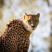 cheetah_predator_big_cat_spotted_112649_2780x2780.jpg.38f41d2081707b396069376743f483cc.jpg